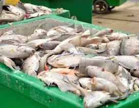Cá chết trắng kênh, chất mấy thùng không hết