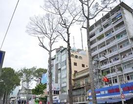 Hơn chục cây cổ thụ trăm tuổi chết bất thường ở Sài Gòn