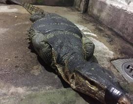 Bắt được kỳ đà to như... cá sấu trên kênh rạch tại Sài Gòn