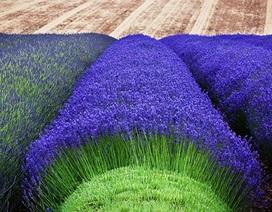 Tuyệt đẹp những cánh đồng oải hương vào mùa thu hoạch