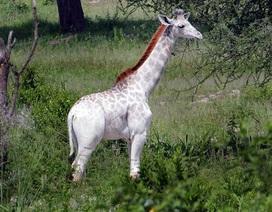 Hươu cao cổ màu trắng hiếm nhất thế giới