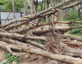 Hà Nội thay thế hàng sấu chết khô trên đường Phạm Hùng