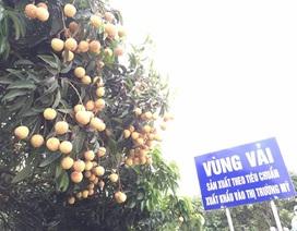 """Vải thiều Thanh Hà: """"Đi tây"""" còn lắm gian nan!"""