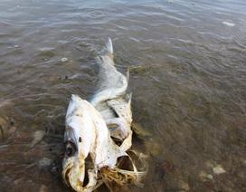 Hàng tấn cá chết đồng loạt trên các hồ, đập