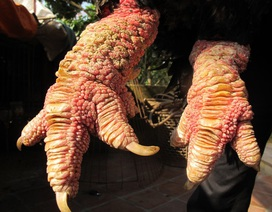 """""""Choáng"""" với cặp """"chân rồng"""" con gà Đông Tảo giá 1 cây vàng SJC"""