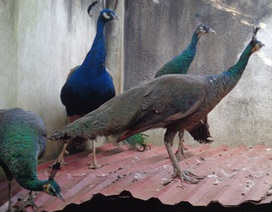 Thu nhập tiền tỷ từ mô hình nuôi chim công