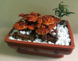"""Nấm linh chi bonsai giá bạc triệu: Hàng """"độc"""" chơi Tết"""