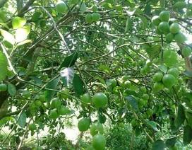 Chặt nhãn, đốn chôm chôm để trồng chanh không hạt