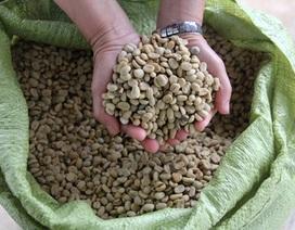 Nông dân thiệt đơn, thiệt kép vì trữ cà phê