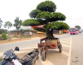Cây cảnh tiền tỷ, hạ giá bán rong trên phố Hà Nội