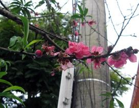 Đào nở rộ hoa khi Tết còn xa