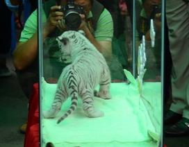 """Hàng trăm người """"mục sở thị"""" hổ trắng vừa được sinh ra ở Thảo cầm viên"""