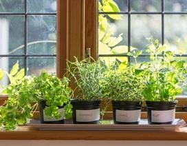 Những loại cây cảnh trong nhà có tác dụng làm thuốc
