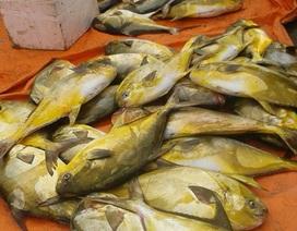 """Ngư dân trúng mẻ cá """"lạ"""", bán được 400 triệu đồng"""