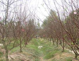 """Những vườn """"đào Nhật Tân"""" trồng trên đất Hà Tĩnh"""