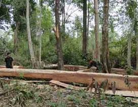 Phát hiện hơn 30 khối gỗ tươi bị xẻ trộm giữa rừng