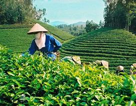 Quảng bá thương hiệu trà Thái Nguyên ra thế giới