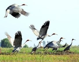 8000 con cò ốc quý hiếm bay về Vườn Quốc gia Tràm Chim