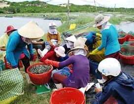 Trung Quốc thu gom tôm Việt Nam đã đến mức báo động