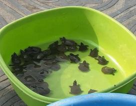 Hà Nội: Cận cảnh thủ thuật bắt lại rùa, ba ba phóng sinh tại chùa Trấn Quốc