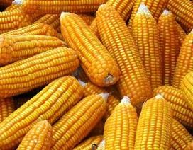 Cho phép thương mại hóa 3 giống cây trồng biến đổi gen đầu tiên