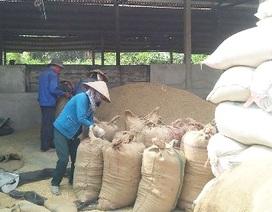 Doanh nghiệp nhỏ khó tiếp cận với nguồn tín dụng để mua tạm trữ lúa gạo