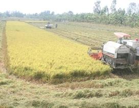 Tạm trữ lúa gạo: Chỉ là giải pháp can thiệp thị trường!
