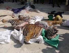 Hổ nặng hơn 300kg bị xẻ xác, đông lạnh