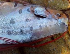 Cá dài 3,5m dạt vào bờ biển Hà Tĩnh