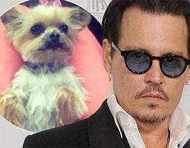 """Cún cưng của Johnny Depp đối mặt """"án tử"""""""