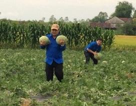 """Thực hư chuyện Tỉnh đoàn Quảng Ngãi bị tố """"ăn chặn"""" người trồng dưa"""