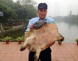 Hà Nội: Bắt được ba ba nặng gần 40kg, khoảng 50 tuổi