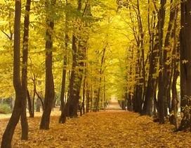 Rực vàng sắc thu tuyệt đẹp ở Ba Lan