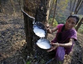 Cao su Việt Nam đối mặt nguy cơ bị điều tra chống bán phá giá tại Ấn Độ