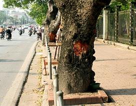 """Đề nghị Công an Hà Nội vào cuộc vụ """"vết cắt lạ"""" trên cây xà cừ"""