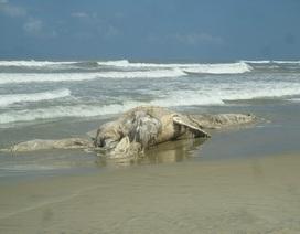 """Táng xác """"cá ông"""" nặng gần 12 tấn """"lụy"""" bờ"""