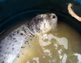 Hải cẩu lạc vào vùng biển Đà Nẵng