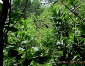 Ghi được hình ảnh bò tót trong rừng trồng của dân