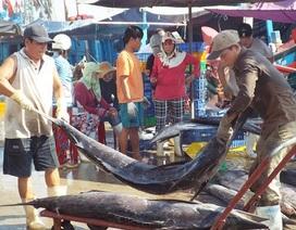 Ngư dân mướt mồ hôi bốc xếp cá dưới nắng gắt