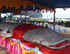 Xác lập kỷ lục bộ da cá nhám voi lớn nhất Việt Nam