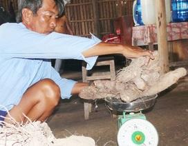 Đào được củ khoai từ nặng hơn 60kg