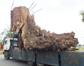 Gốc cây bàng đá 400 tuổi, giá 35 triệu đồng