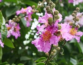Hoa bằng lăng bừng sắc tím giữa trời Hà Nội
