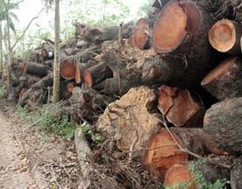 """""""Mở kho"""" lưu giữ hàng trăm cây xanh bị chặt hạ, đánh chuyển"""