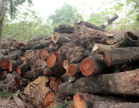 Hà Nội: Chi 35 triệu đồng cho việc chặt hạ một cây xà cừ