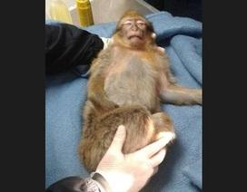 Pháp: Khỉ bị bắn sốc điện vì tấn công trẻ em