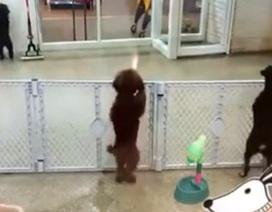 Ngộ nghĩnh chú chó nhảy Latin khi trông thấy chủ