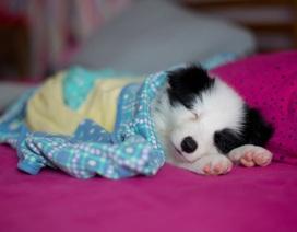 Những chú cún bé nhỏ đến khó tin