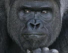 Nhật Bản: Khỉ đột đẹp trai hút hồn các cô gái trẻ