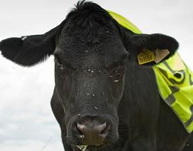 Anh: Hội đồng địa phương kiến nghị mặc áo phản quang cho bò